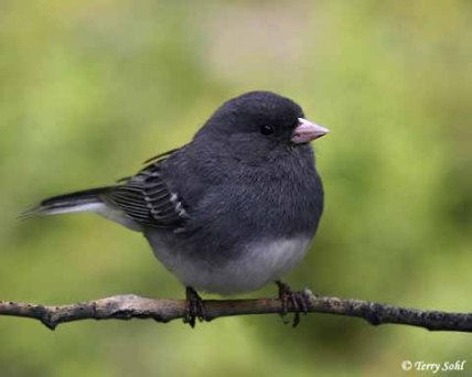 dark_eyed_junco_ww