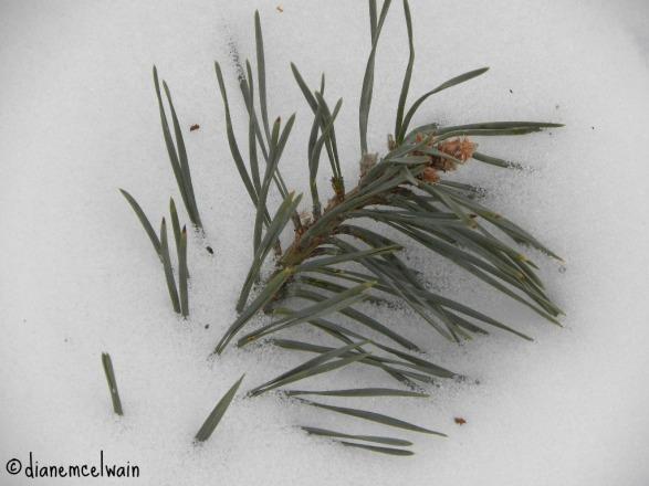 pinebranch