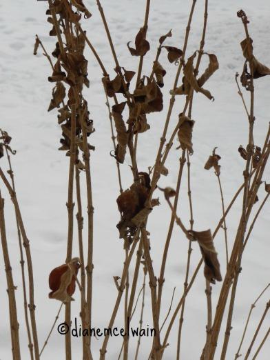 snowweeds