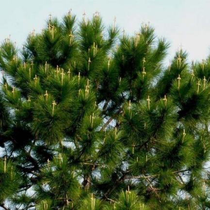 Pine-Tree-Crosses_photo_medium