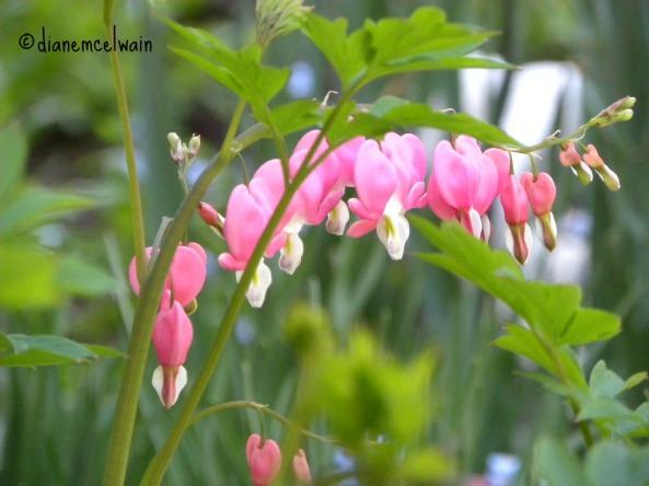 pinkbleedingheart