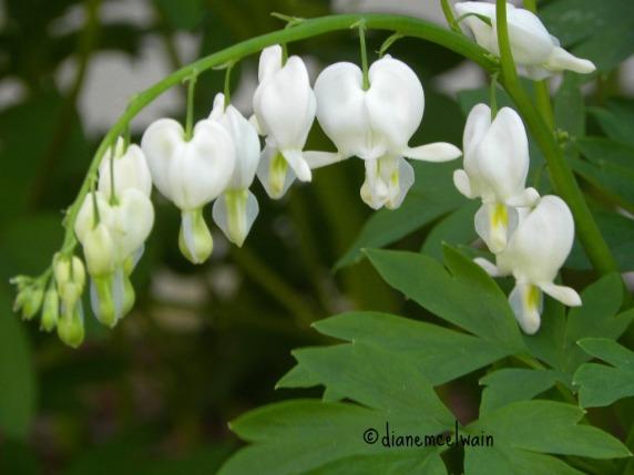 whitebleedingheart